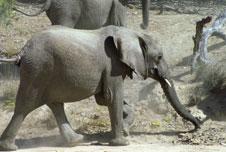 A Namibian elephant, BBC image