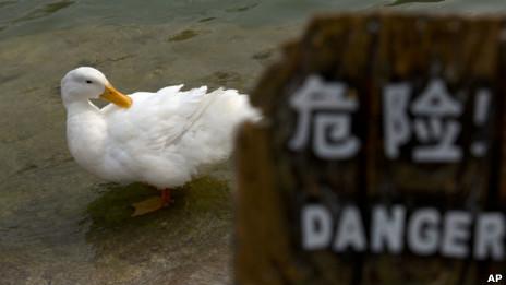 北京一个公园里的鸭子