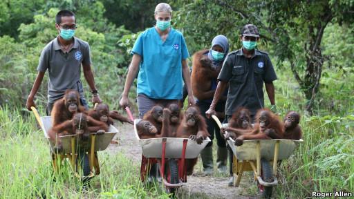 Bornéu: Trinta filhotes de orangotango são resgatados após caçadores matarem pais