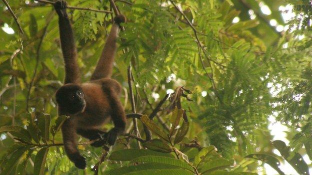 Mono lanudo