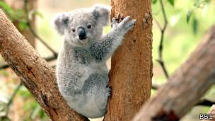 Koala en un zoo de Australia