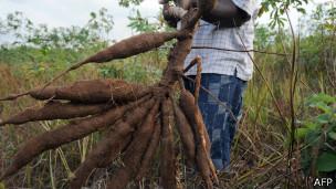 Plantação de mandioca na África (AFP)