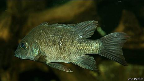 """Fêmea da espécie """"Ptychochromis insolitus"""" (Foto: Zoológico de Berlim)"""