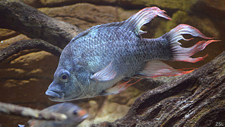 Ptychochromis insolitus (Foto: Zoological Society of London)