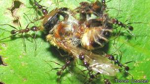 Un grupo de hormigas acarrea el cadaver de una avispa sobre el fondo verde de una hoja