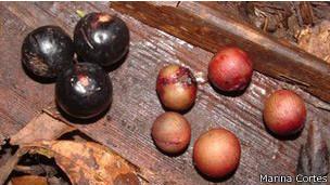 Frutos de distintos tamaño de la Euterpe Edulis