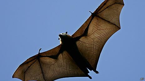 Zorro volador o Pteropus