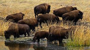 Búfalos del parque de Yellowstone