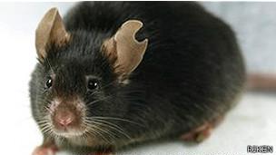 علماء يابانيون يستنسخون فأرة من قطرة دماء الاستنساخ تكنولوجيا حيوية 130627143641_cloned_
