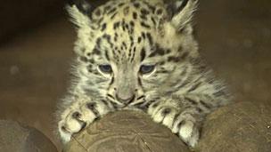 O filhote de leopardo-das-neves (BBC)