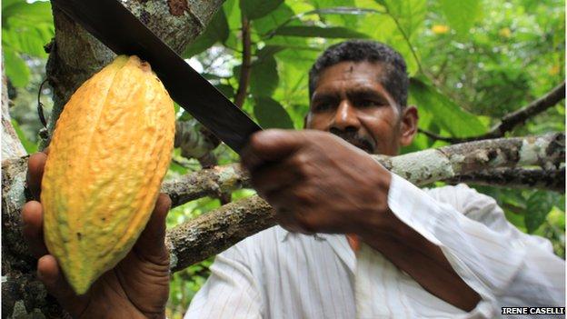 Don Nacho cortando cacao
