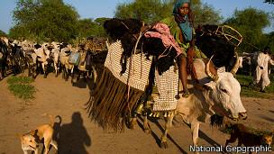 Nómadas en Chad migran junto a ganado siguiendo las lluvias