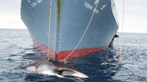 La Haya ordenó a Japón que suspenda la caza de ballenas 130716021715_sp_caza_de_ballenas_japon_304x171_afp