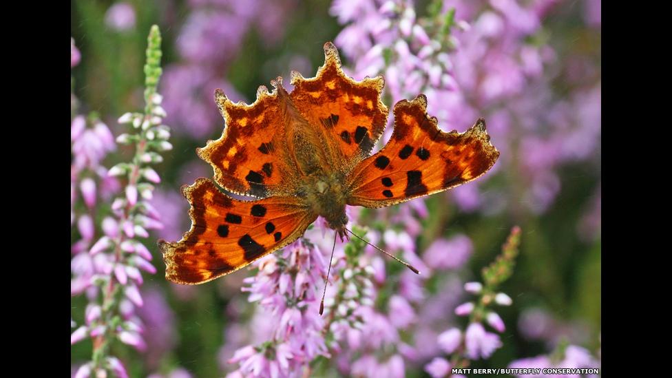 'කොමා' සමනලයා  (Comma butterfly)