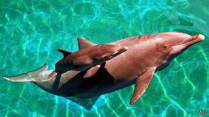 Delfin con su cría de cuatro días