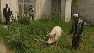Cerdo de Kabul