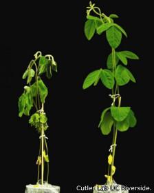Planta de soja, con y sin tratamiento de quinabactin
