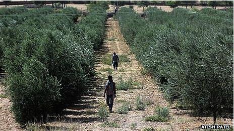 Hileras de árboles de oliva