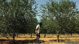 Hombre caminando en sembradío de olivos.