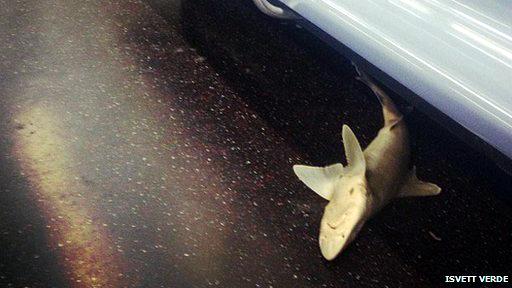 سمكة قرش عثر عليها في مترو نيويورك 130808054820_624x351