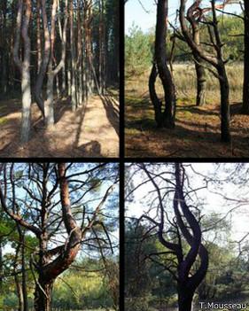 Árboles de Chernobyl