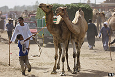 Dromedary camels in Egypt