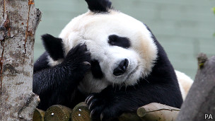 Tian Tian, osa panda del zoológico de Edimburgo