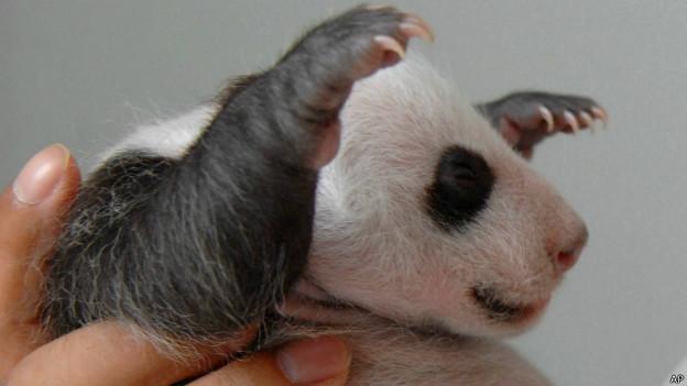 Tian Tian, panda gigante del zoológico de Edimburgo