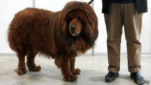 Un perro mastín tibetano de color marrón