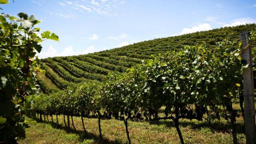 vinhedo na Serra Gaúcha | Divulgação - Wines of Brazil