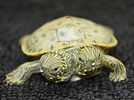 A two-headed turtle, San Antonio Zoo, Texas