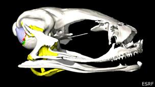 Tomografía de una rana de Gardiner