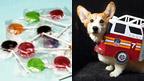 Lollipops and a corgi dog