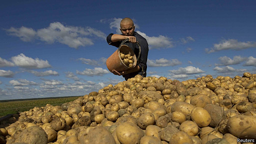 hombre recoge papas en Ucrania
