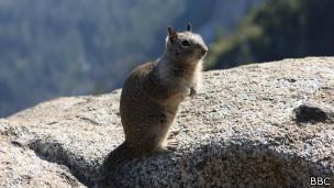 Esquilo terrestre | Foto: BBC