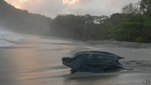 Tartaruga-de-couro | Foto: AP