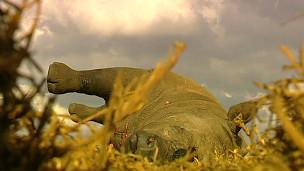 Cadáver de rinoceronte