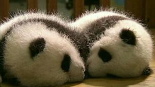Cachorros panda