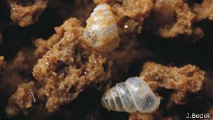 Nueva especie de caracol traslúcido