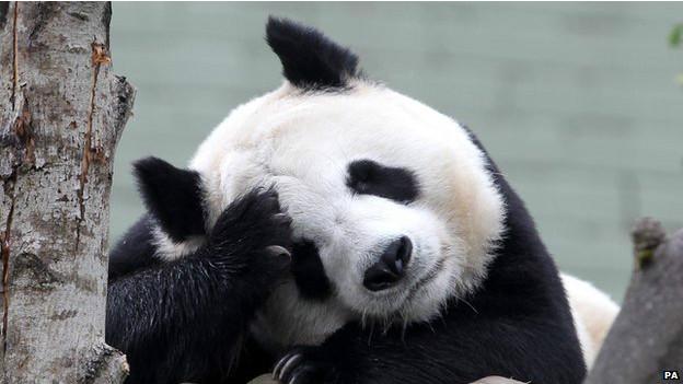 Tian Tian, oso panda del zoológico de Edimburgo