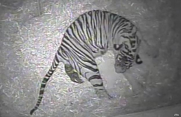 Nacimiento de un tigre