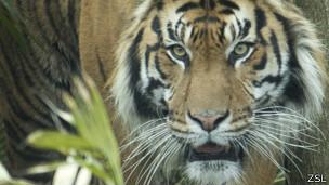Jae Jae, the male Sumatrian tiger