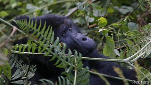 Gorila en la selva