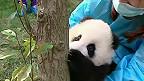 Panda aprendiendo a trepar un árbol