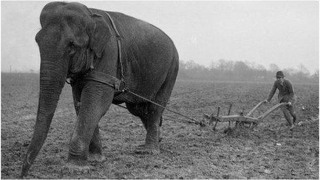 Elefante arando