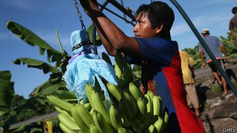 Plantación de bananas en México