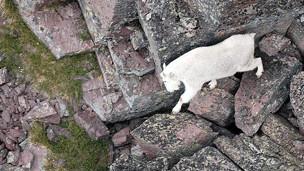 Cabra por terreno rocoso