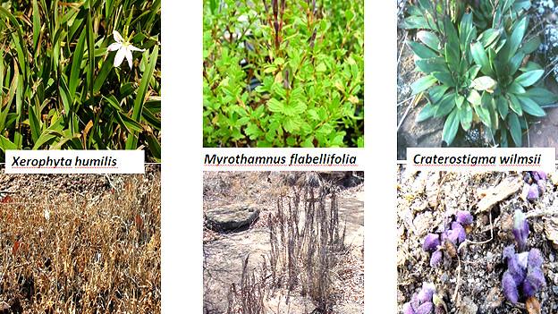 Ejemplos de plantas de la resurrección después y antes de la lluvia Foto gentileza Jill Farrant