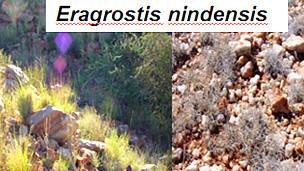 Eragrostins nindensis, ejemplo de planta de la resurrección después y antes de la lluvia