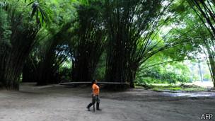 Selva de bambú
